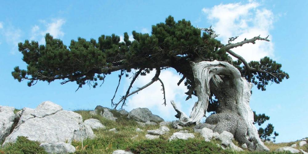 parco del pollino pino loricato